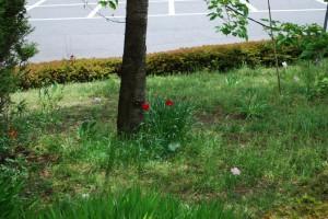 20150423春の草花 チューリップ (1)