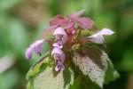 ヒメオドリコソウ姫踊り子草Lamium purpureum4~5月