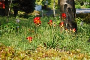 20150423春の草花 フリージア (2)