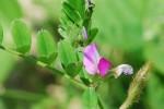 20150423ヤハズエンドウ/カラスノエンドウ矢筈豌豆、烏野豌豆Vicia sativa subsp. nigra 3~6月