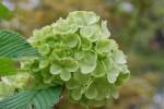 オオデマリ大手毬Viburnum plicatum form. plicatum5 ~6月
