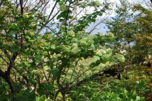 20150424春の樹木の花  オオデマリ  (2)