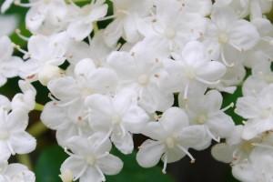 20150424春の樹木の花 ガマズミ (2)