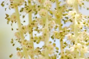 20150424春の樹木の花 コナラ (2)