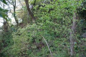 20150424春の樹木の花 コバノガマズミ (1)