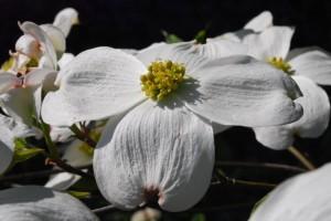 20150424春の樹木の花 ハナミズキ  (1)