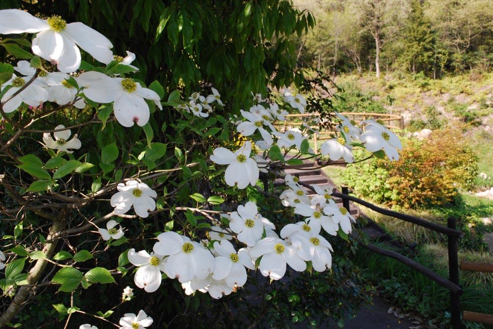 ハナミズキ花水木Cornus florida4~5月