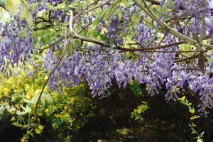 20150424春の樹木の花 フジ (1)