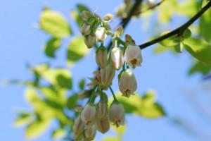 20150424春の樹木の花 ブルーベリー (2)