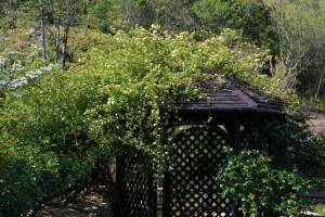 20150424春の樹木の花 モッコウバラ (1)