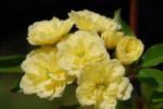 モッコウバラ(キモッコウ)木香薔薇Rosa bankusiae lutea4~5月