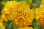 ヤエヤマブキ八重山吹Kerria japonica form. plena4月