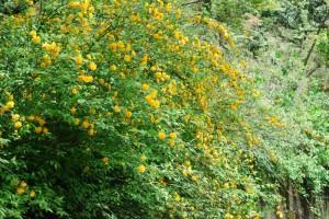 20150424春の樹木の花 ヤエヤマブキ (2)