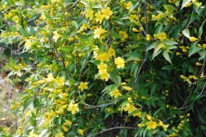 20150424春の樹木の花 リュウキュウハギ (1)