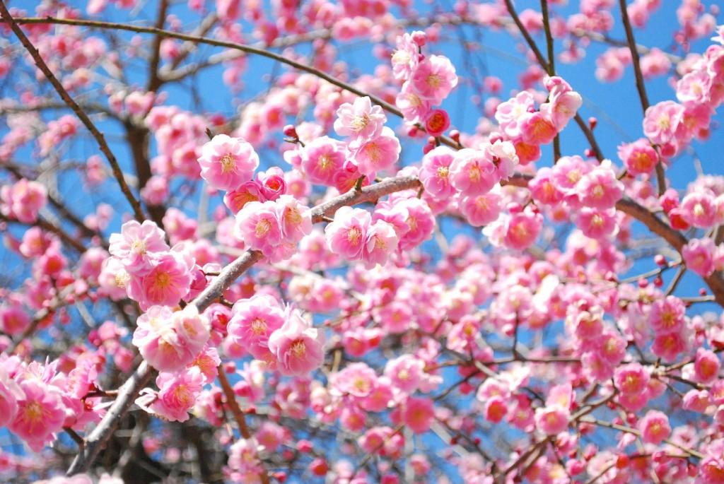 遊歩道の梅たち〜八部咲き〜-2
