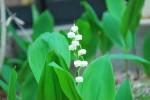 20140509シラユキゲシとスズランがひっそりと咲いていました-2-1