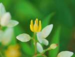 20140621ナンテンの花 (3)