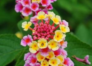 20140703ランタナの花-1