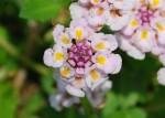 20140716ヒメイワダレソウの花