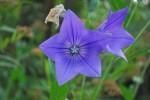 20140720キキョウの花-2