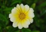 20140723ガザニアの花-2