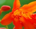 20140727ヒメヒオウギズイセンの花-3