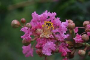 20140822サルスベリの花-2