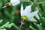 20140910-ヒヨドリジョウゴ-の花-2