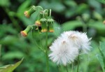 20140912-ベニバナボロギクの花-2