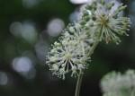 20140924ウドの花-3