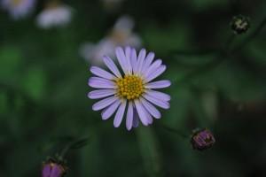 20140930ヨメナの花-3