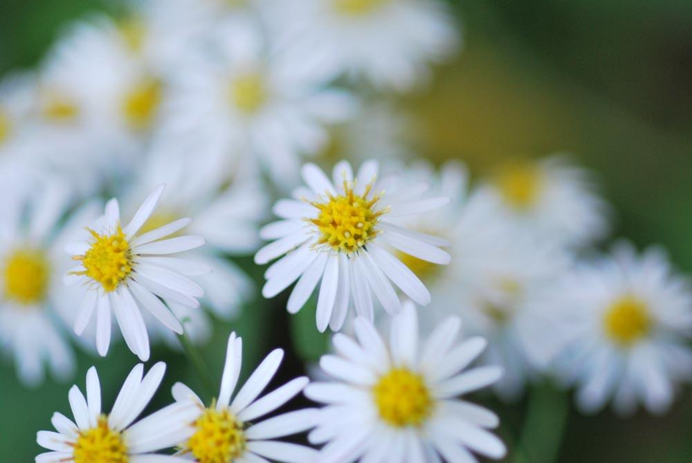 20141105ノギクの花-2