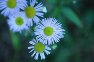 20141105ヒメジョオンの花-2