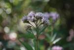 20141107フジバカマの花-3