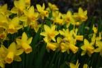 スイセン水仙Narcissus cv.12~4月
