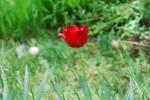 20150423春の草花-チューリップ-2
