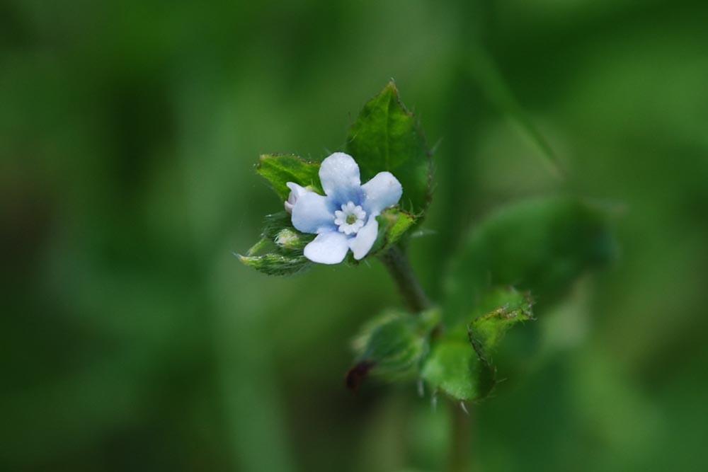 20150423春の草花-ハナイバナ-2