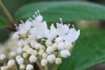 20150424春の樹木の花-コバノガマズミ-2