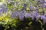 20150424春の樹木の花-フジ-1