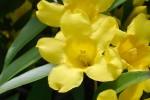 20150424春の樹木の花-リュウキュウハギ-2