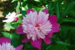 シャクヤク芍薬Paeonia lactiflora5~6月