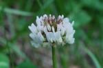 20150513シロツメクサ白詰草Trifolium repens5~8月