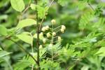 ジャケツイバラ蛇結茨Caesalpinia decapetala var. japonica5~6月