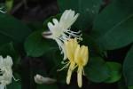 スイカズラ吸葛Lonicera japonica5~7月