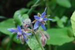 ルリヂシャ(ボリジ)瑠璃苣Borago officinalis3~7月