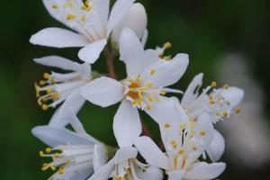 20150516ウツギ(空木)の花 (1)