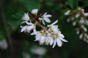 20150516ウツギ(空木)の花 (2)
