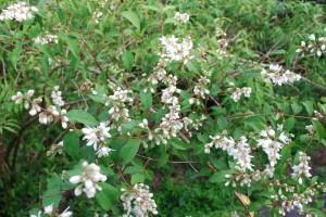 20150516ウツギ(空木)の花 (3)