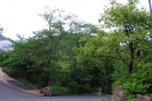 20150518カキノキ(柿木) (2)