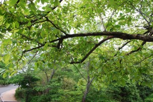 20150518カキノキ(柿木) (3)
